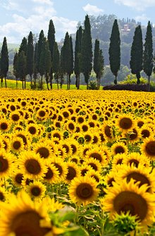 couples and psychosexual therapy. Library Image: Sunflower Field